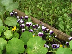 Nasturtiums & Pansies