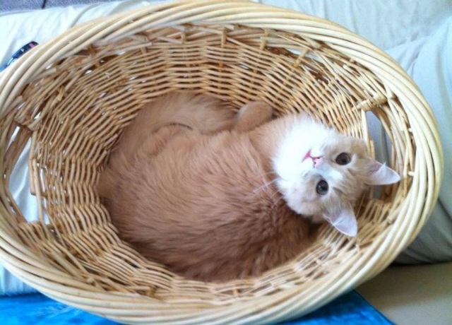 percival-cat-in-a-basket