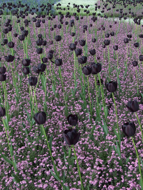 black-tulips-500px
