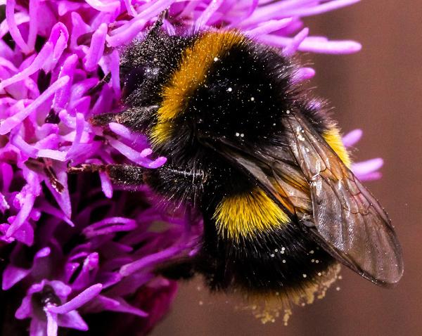 bumblebee-600px