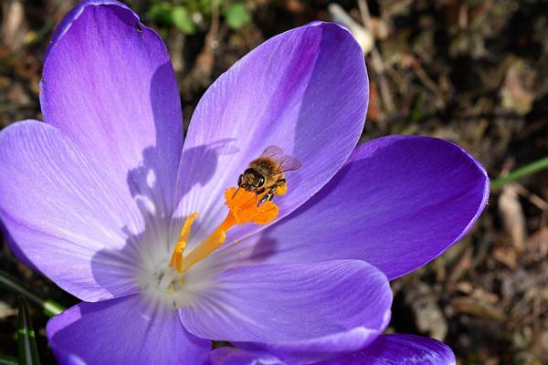honey-bee-and-crocus-600px