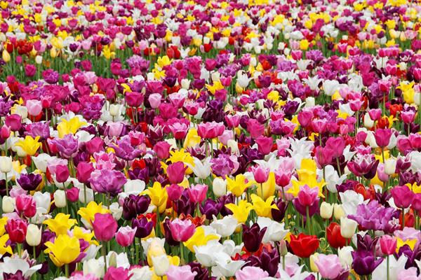 tulips-600px